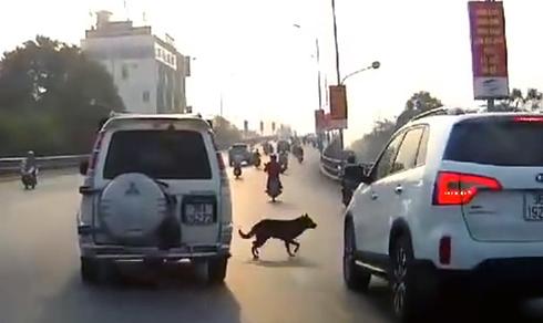 Hiểm họa giao thông từ chó thả rông